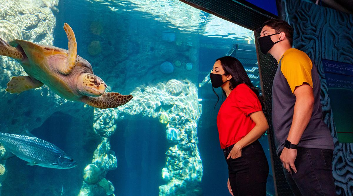 A sea turtle enjoys the company of people again at The Florida Aquarium.