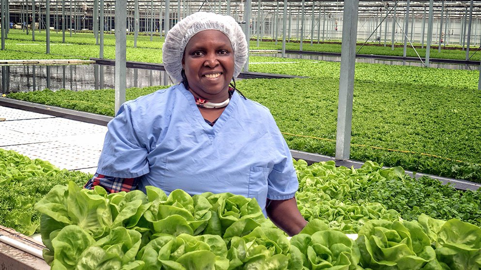 Veronica Inabigo harvests lettuce