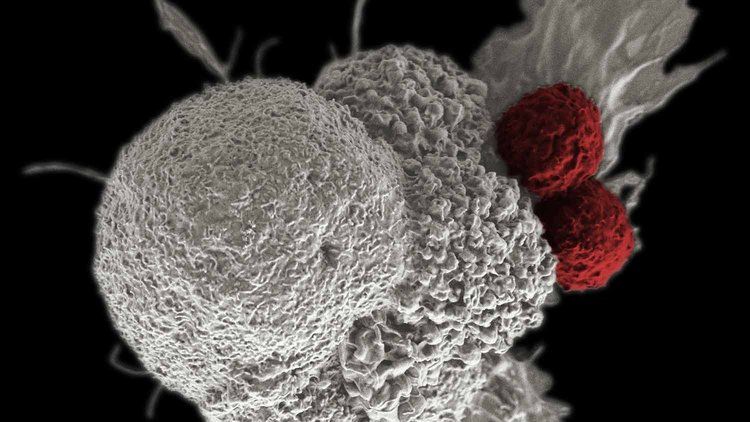 Two cytotoxic T cells (red) attack a cancer cell (white).